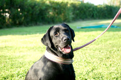 Zwarte Labradorzitting op leiband Stock Fotografie
