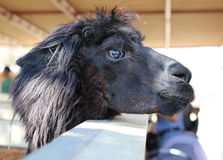 Zwarte Lama Stock Afbeeldingen