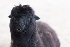 Zwarte lama Stock Foto's