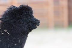 Zwarte lama Stock Afbeelding