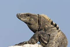 Zwarte Leguaan, annerisce l'iguana Coperto di spine-munita, similis di Ctenosaura immagine stock