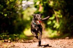 Zwarte lopende hond met stuk speelgoed Royalty-vrije Stock Foto's