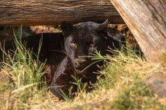 Zwarte luipaard, Panthera-pardus, in gevangenschap royalty-vrije stock afbeeldingen