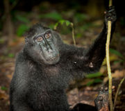 Zwarte macaque, Sulawesi, Indonesië Stock Foto's