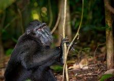 Zwarte macaque, Sulawesi, Indonesië Royalty-vrije Stock Fotografie