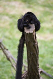 Zwarte Maki Ruffed Royalty-vrije Stock Afbeelding