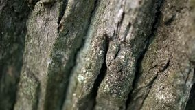 Zwarte mier die langs donkere schors van boom in bosmier kruipt die op boomschors kruipt stock videobeelden