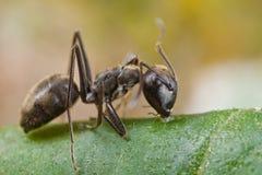 Zwarte mier op blad Royalty-vrije Stock Afbeeldingen
