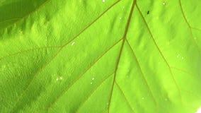 Zwarte mier op bladeren stock footage