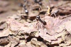 Zwarte mier op boomschors Royalty-vrije Stock Foto