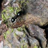 Zwarte mier op boomschors Royalty-vrije Stock Foto's