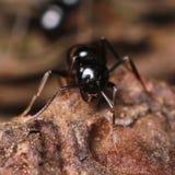 Zwarte mier op boomschors Stock Foto