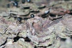 Zwarte mier op boomschors Stock Foto's
