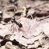 Zwarte mier op boomschors Royalty-vrije Stock Afbeelding