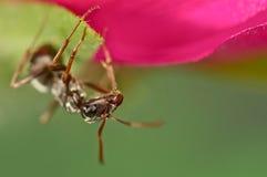 Zwarte mier op een roze bloem Royalty-vrije Stock Foto's
