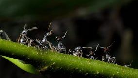 Zwarte mier op tak na regen stock video