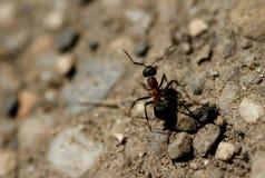 Zwarte mier op zand royalty-vrije stock afbeeldingen