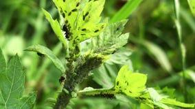 Zwarte mieren die groene vliegen op een installatiestam bewerken stock videobeelden