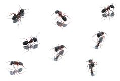 Zwarte Mieren XXXL Royalty-vrije Stock Fotografie