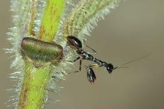 Zwarte mierenbidsprinkhanen Royalty-vrije Stock Fotografie