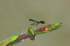 Zwarte mierenbidsprinkhanen Stock Afbeelding