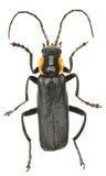 Zwarte Militair Beetle op witte Achtergrond Royalty-vrije Stock Afbeeldingen