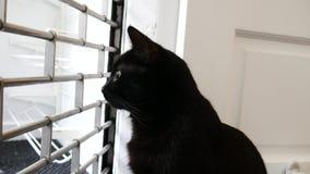 Zwarte moggiekat in de venster het letten op buitenkant toe te schrijven aan nieuwsgierigheid stock footage