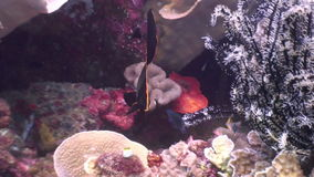 Zwarte mooie vissen op achtergrond van koraal onderwater in oceaan van Filippijnen stock video