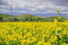 Zwarte mosterdgebied, het Regionale Park van Coyoteheuvels, de baai van San Francisco, Californië stock foto
