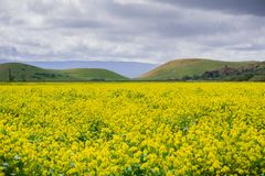 Zwarte mosterdgebied, het Regionale Park van Coyoteheuvels, de baai van San Francisco, Californië royalty-vrije stock afbeelding