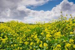Zwarte mosterdgebied, het Regionale Park van Coyoteheuvels, de baai van San Francisco, Californië royalty-vrije stock afbeeldingen