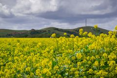 Zwarte mosterdgebied, het Regionale Park van Coyoteheuvels, de baai van San Francisco, Californië stock foto's