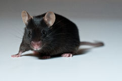 Zwarte muis Royalty-vrije Stock Foto