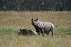 Zwarte Neushoorn, Black Rhinoceros, Diceros bicornis royalty free stock photo