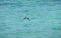 Zwarte noddy of hetafgedekte noddy minutus van Anous vliegen royalty-vrije stock foto