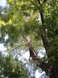 Zwarte Okkernoot Tree2 Royalty-vrije Stock Afbeeldingen