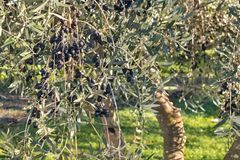 Zwarte olijven die op olijfboom in olijfgaard rijpen Stock Afbeeldingen