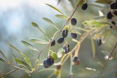 Zwarte olijven op olijfboom royalty-vrije stock afbeeldingen