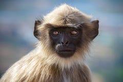 Zwarte onder ogen gezien aap Stock Foto's