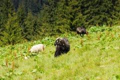 Zwarte ooi met lam op het bergweiland stock foto