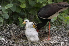 Zwarte ooievaars in nest. stock afbeeldingen