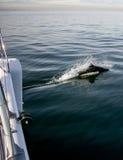 Zwarte opgeruimde dolfijn Royalty-vrije Stock Fotografie