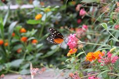 Zwarte Oranje & Witte Vlinder in de Heilige Louis Zoo Stock Fotografie