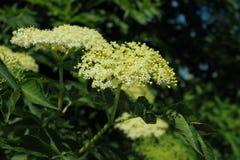 Zwarte oudere bloemen Stock Fotografie