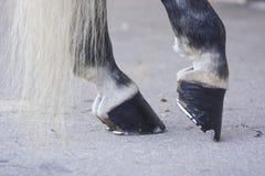 Zwarte paardhoeven Royalty-vrije Stock Foto's