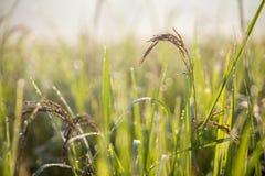 Zwarte padie op gebied, Thailand Stock Foto's