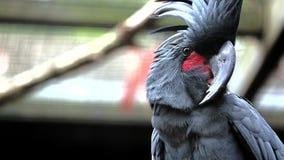 Zwarte palmkaketoe stock footage