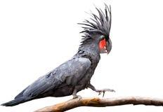 Zwarte palmkaketoe Royalty-vrije Stock Afbeelding