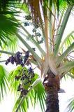 Zwarte palmzaden die op zijn tak bij tropische botanische tuin in Thailand hangen royalty-vrije stock afbeelding