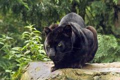 Zwarte Panter Royalty-vrije Stock Afbeeldingen